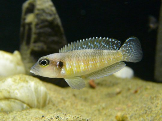 Lamprologus_wauthioni_Anders_Winland.jpg