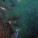 Cyathochromis obliquidens ?