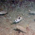 Mylochromis mola ?