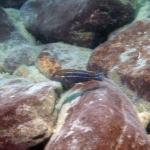 Melanochromis dialeptos - male