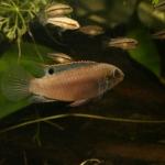 Sami Lasfar - Enigmatochromis lucanusi (1)