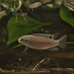 Sami Lasfar - Enigmatochromis lucanusi (2)