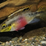 Marc Puigcerver - Pelvicachromis subocellatus