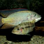 Koppel Oreochromis schwebischi