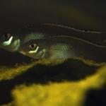 Roger Le Guen - Nannochromis parilus
