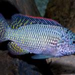 Oreochromis schwebischi man