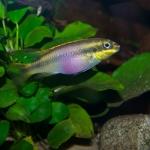 Tjeerd Nijboer - Pelvicachromis pulcher 'Ndonga'