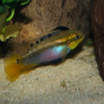 Tjeerd Nijboer - Pelvicachromis roloffi