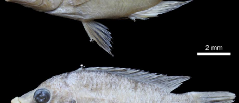 Fig. Above. Haplochromis labiatus, holotype, ♀ 104.3 mm SL. BMNH 1933.2.23.403.  Fig. Down . Haplochromis lobatus sp. nov., holotype, ♀ 104.6 mm SL. MRAC 2017.06.P.0063.