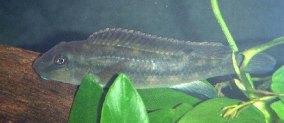 Paragobiocichla irvinei, foto van wikipedia
