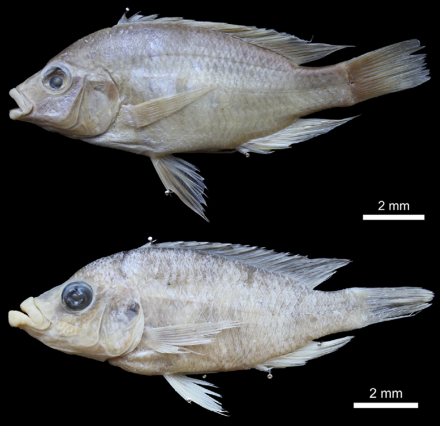 Fig. Above. Haplochromis labiatus, holotype, ♀ 104.3 mm SL. BMNH 1933.2.23.403.  Fig. Down . Haplochromis lobatus sp. nov., holotype, ♀ 104.6 mm SL. MRAC 2017.06.P.0063.