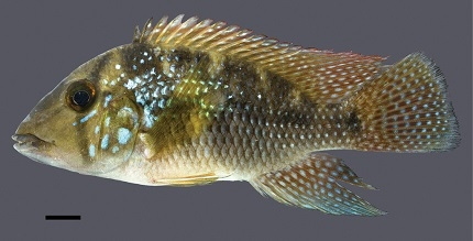 Geophagus rufomarginatus sp. n.