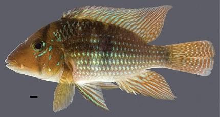Geophagus santosi sp. n.