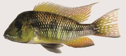 Gymnogeophagus peliochelynion: boven, paratype, man, ZVC-P 13210, paratype, 76.3 mm SL, río Arapey, Colonia Lavalleja, Paso Elías, Salto, Uruguay
